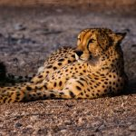 cheeta-abu-dhabi-photography