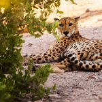 cheeta-photography-uae